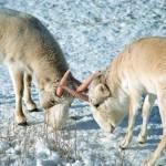 A kalmük puszták ritkasága a szajga antilop